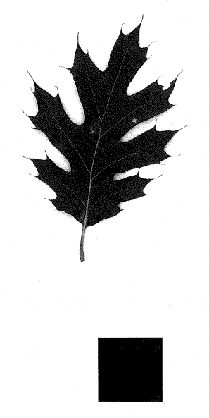 scan of a black oak leaf